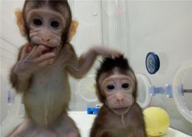 重大突破!世界首例体细胞克隆猴中国诞生