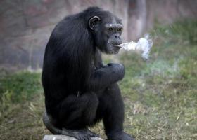 朝鲜动物园里竟有一只会抽烟的大猩猩