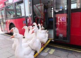 """这群鹅每天坐公交车""""上下班"""",还配有随身保镖"""